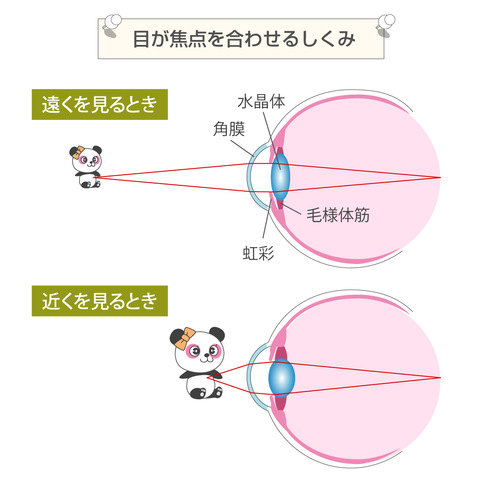 目の仕組みとスマホ老眼になる原因
