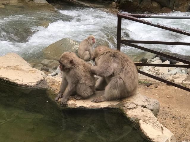 外国人にも人気、温泉に入るニホンザル「地獄谷野猿公苑」