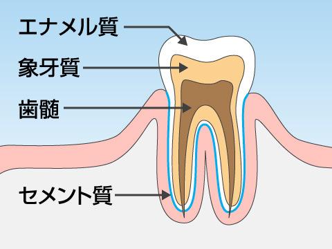 歯の構造について