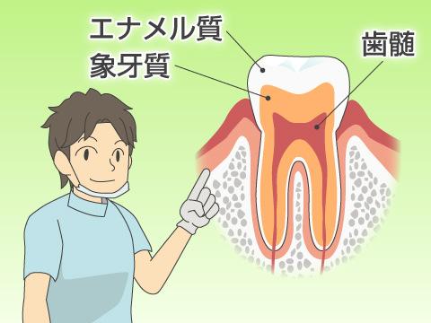 歯の色を決める歯の構造