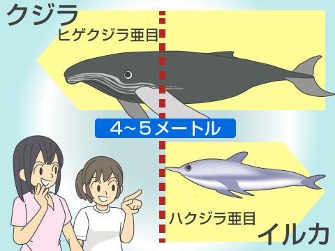 クジラとイルカの違い