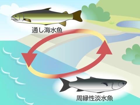 海と川を行き来する魚たち