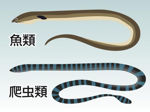 いわゆる「ウミヘビ」には2種類ある