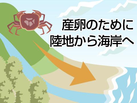 カニの生態と特徴