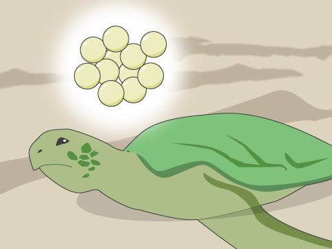 命がけの産卵は、1シーズンに3~4回