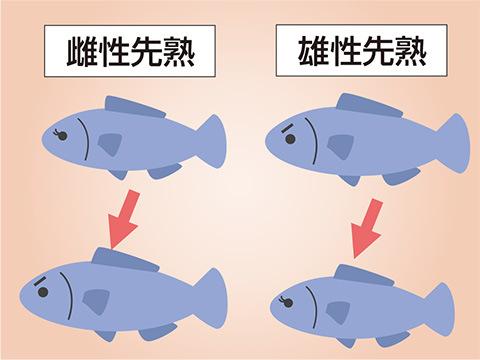 メスからオスの「雌性先熟」とオスからメスの「雄性先熟」