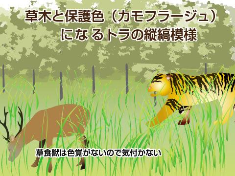 トラの目立つ縞模様のわけ