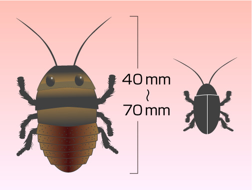 マダガスカルオオゴキブリの特徴
