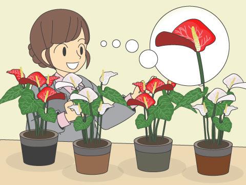 ツヤのあるハート形の花「アンスリウム」