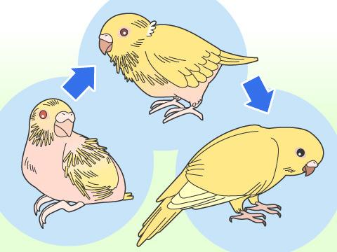 鳥の成長過程が知りたい