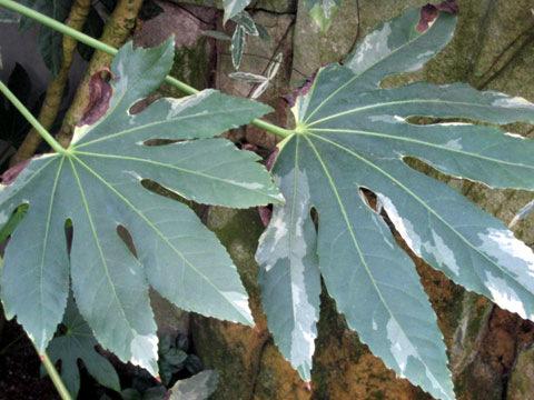 陰性植物(インセイショクブツ)