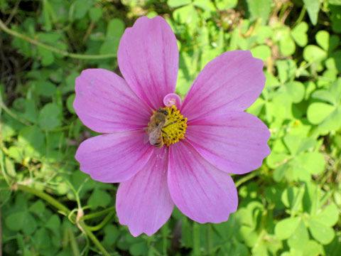 花粉(カフン)