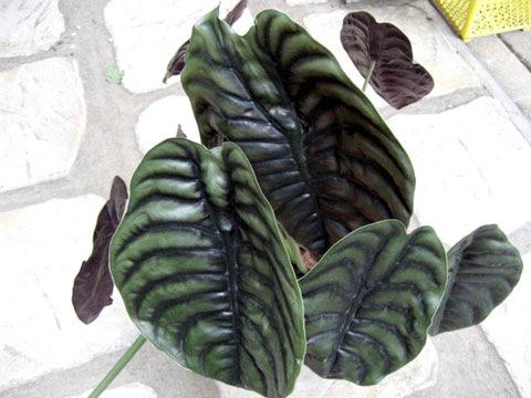 観葉植物(カンヨウショクブツ)
