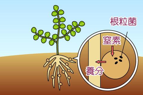 根粒菌(こんりゅうきん)(コンリュウキン)