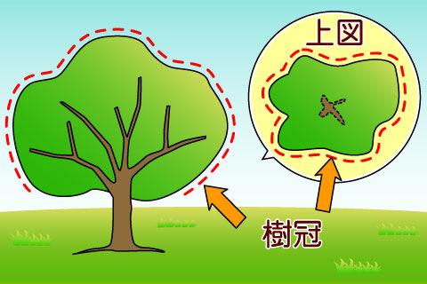 樹冠(じゅかん)(ジュカン)