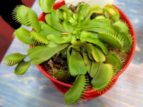 食虫植物(しょくちゅうしょくぶつ)(ショクチュウショクブツ)