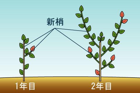 新梢(しんしょう)(シンショウ)