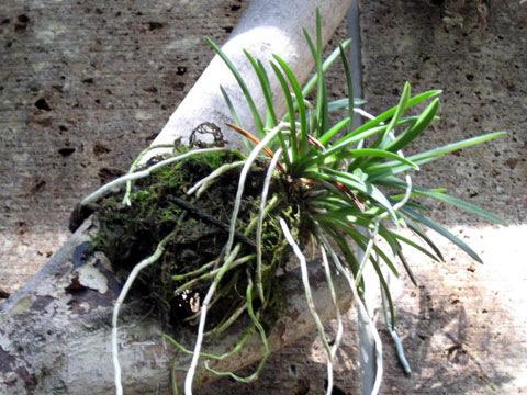 着生植物(ちゃくせいしょくぶつ)(チャクセイショクブツ)