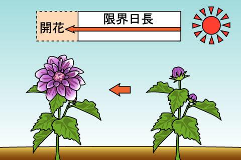 長日植物(ちょうじつしょくぶつ)(チョウジツショクブツ)