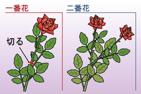 二番花(にばんか)(ニバンカ)