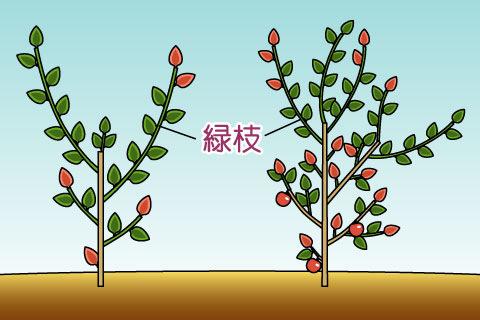 緑枝(りょくし)(リョクシ)