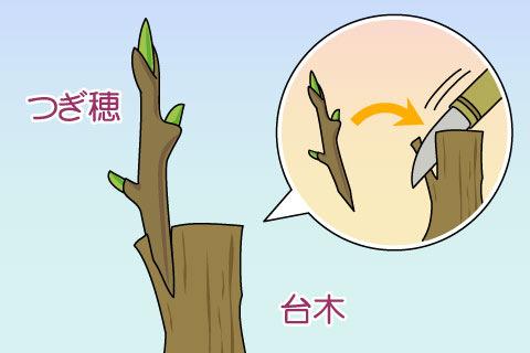 つぎ木(ツギキ)
