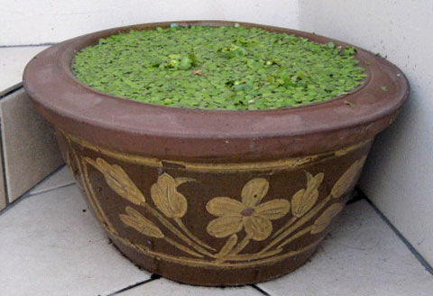 水鉢(みずばち)(ミズバチ)