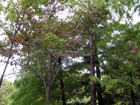 緑陰樹(りょくいんじゅ)(リョクインジュ)