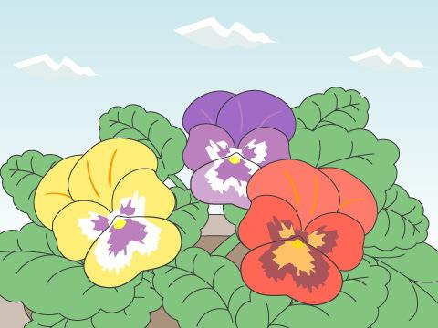 パンジー・ビオラ(開花時期:10~3月)