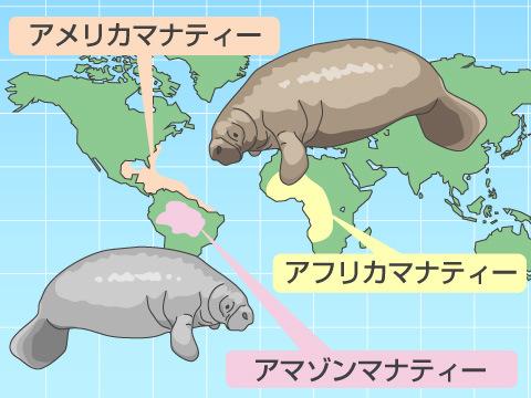 海や河川で暮らす3種類のマナティー