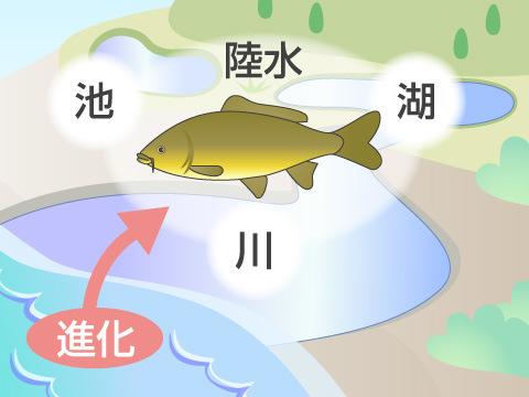 川や湖の魚はどこから来たの?