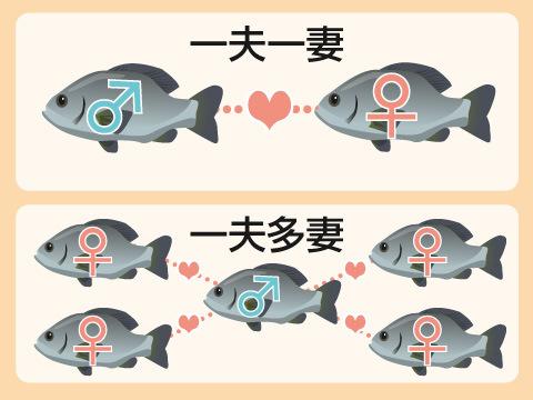 魚たちの配偶システム