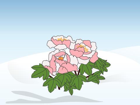 極寒の中で開花する冬牡丹は必見!